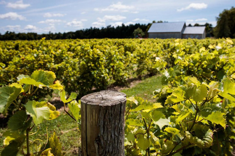 Vignoble Ste-Angélique... (Photo Hugo-Sébastien Aubert, La Presse)