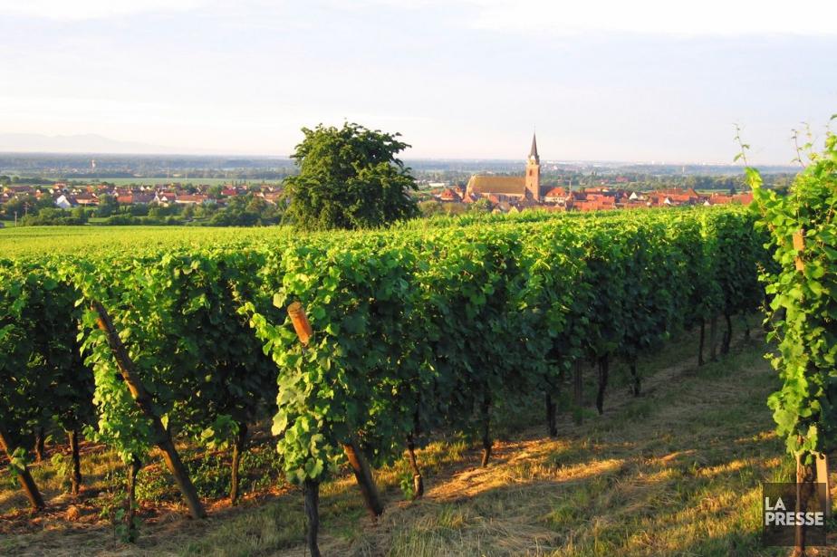 Un vignoble d'Alsace.... (PHOTO ARCHIVES LA PRESSE)