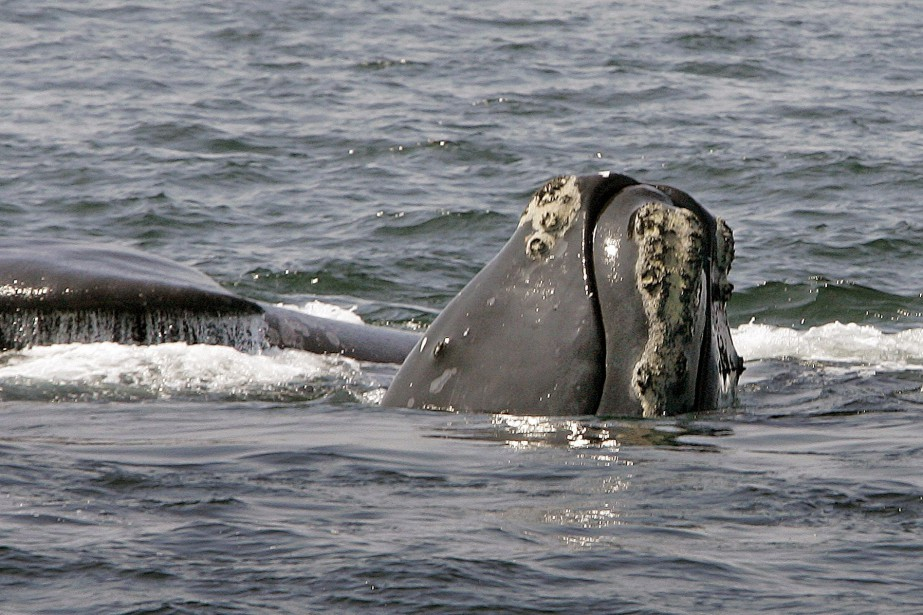 La baleine noire de l'Atlantique Nord est une... (PHOTO Stephan Savoia, archives Associated Press)