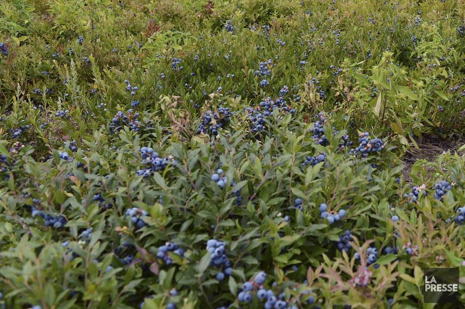 Le corps gisait dans un champ de bleuets... (PHOTO ARCHIVES LA PRESSE)