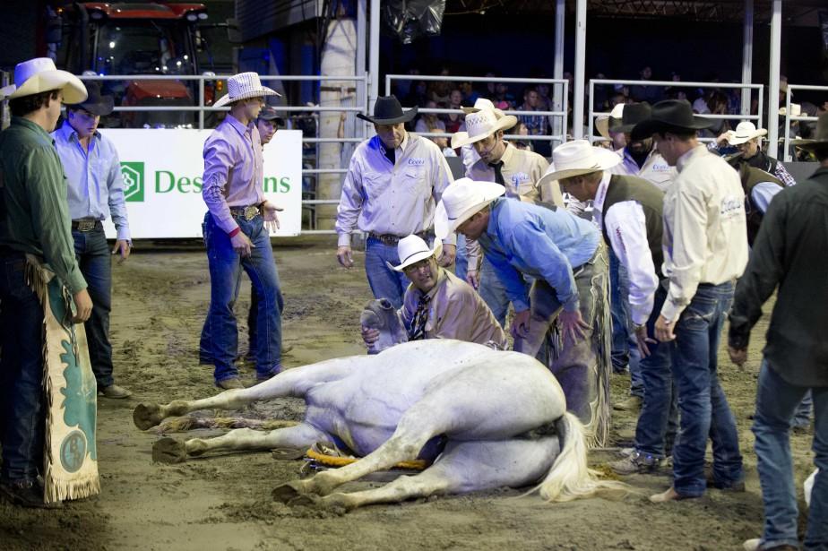Un cheval sauvage est demeuré étendu au sol quelques minutes après avoir trébuché sur une pièce d'équipement. Selon les vétérinaires du rodéo, il ne s'est pas blessé gravement. (Sylvain Mayer, Le Nouvelliste)