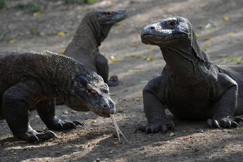 La salamandre géante de Chine et le dragon... (Photo Romeo Gacad, Archives AFP)