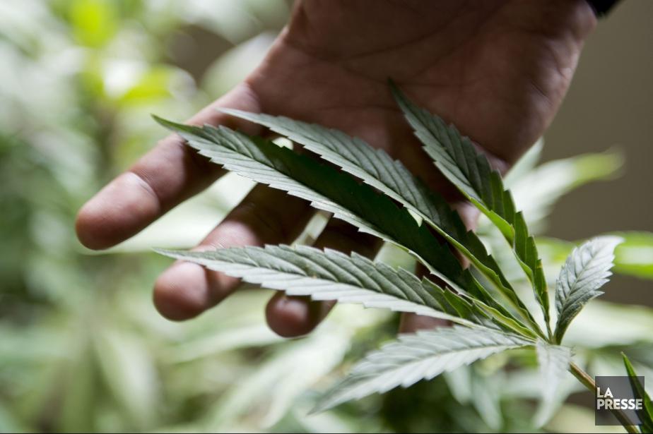À quelque six mois de la légalisation de la marijuana, le... (Photo d'archives)