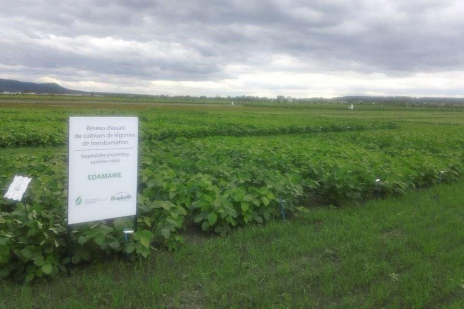 Parcelle d'edamames au CEROM, le centre de recherche... (Photo fournie par la Fédération québécoise des producteurs de fruits et légumes de transformation)