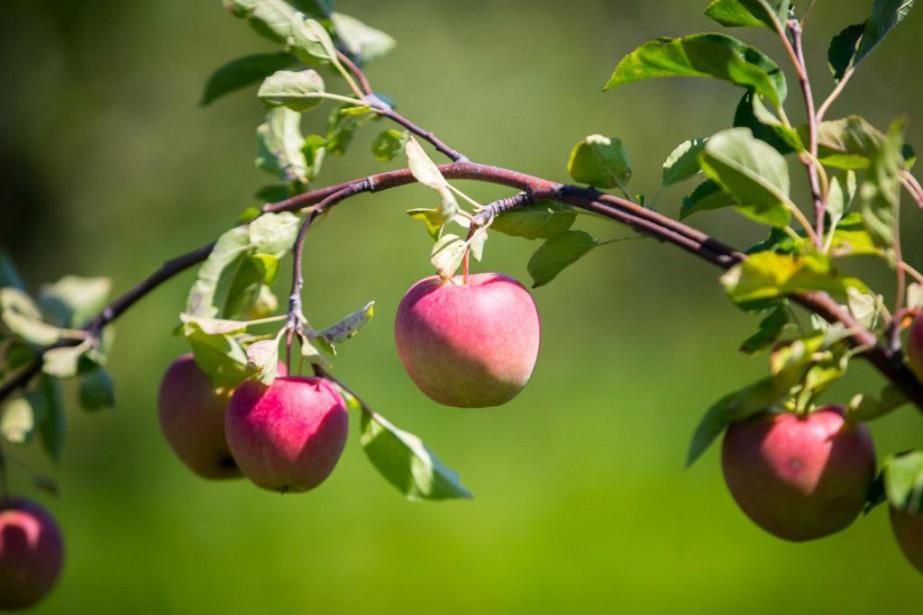 Beaucoup de gens aiment les pommes, qu'ils... (Photo Olivier Jean, La Presse)