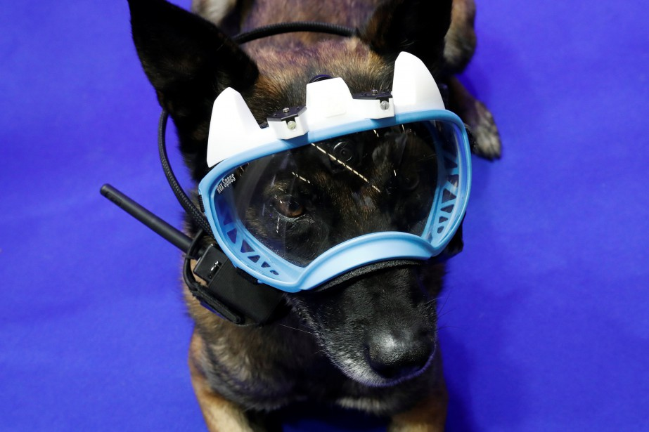 Un chien policier nommé «Fusil» porte un masque protecteur sur lequel sont montés des caméras et un émetteur-récepteur. Ce sytème mis au point par la firme de lutte anti-terrorisme et de surveillance Groupe SSI permet au maître-chien resté derrière de voir sur un écran portatif ce que voit le chien; et de lui donner es ordres. | 24 novembre 2017
