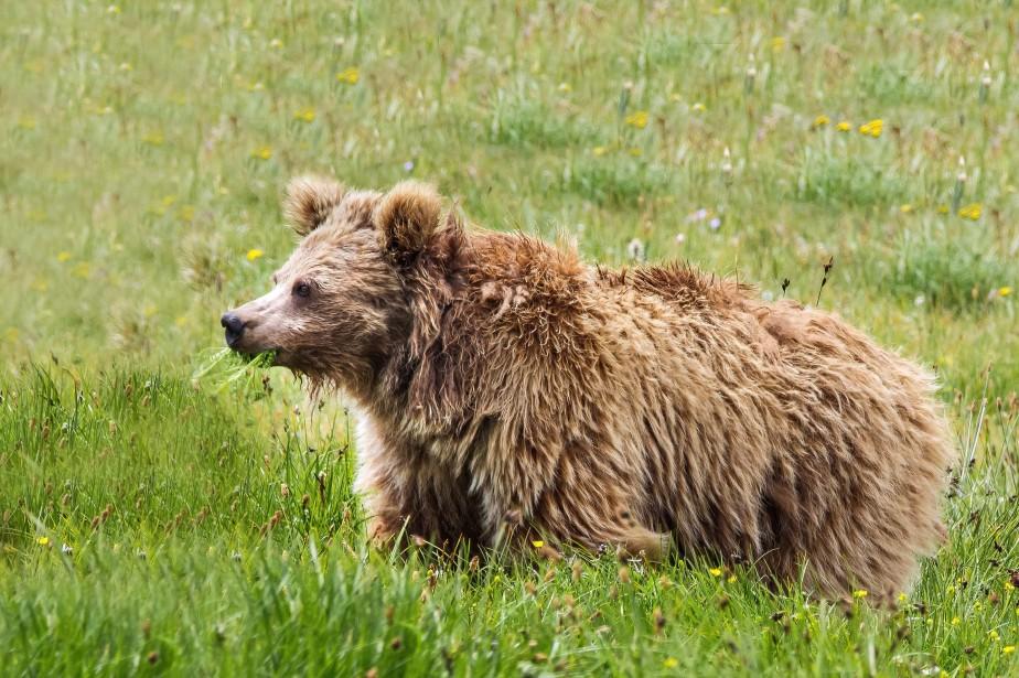 L'ours brun de l'Himalayaest une sous-espèce de l'ours... (ARCHIVES AFP)