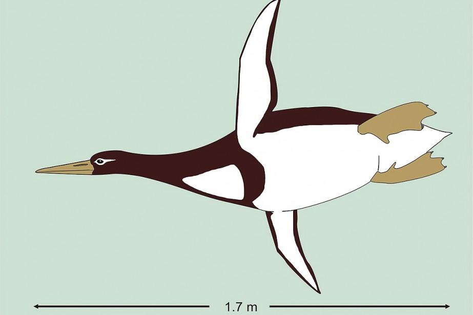 Une illustration fournie par Gerald Mayr montre unkumimanu.... (Gerald Mayr, Senckenberg Research Institute via AP))