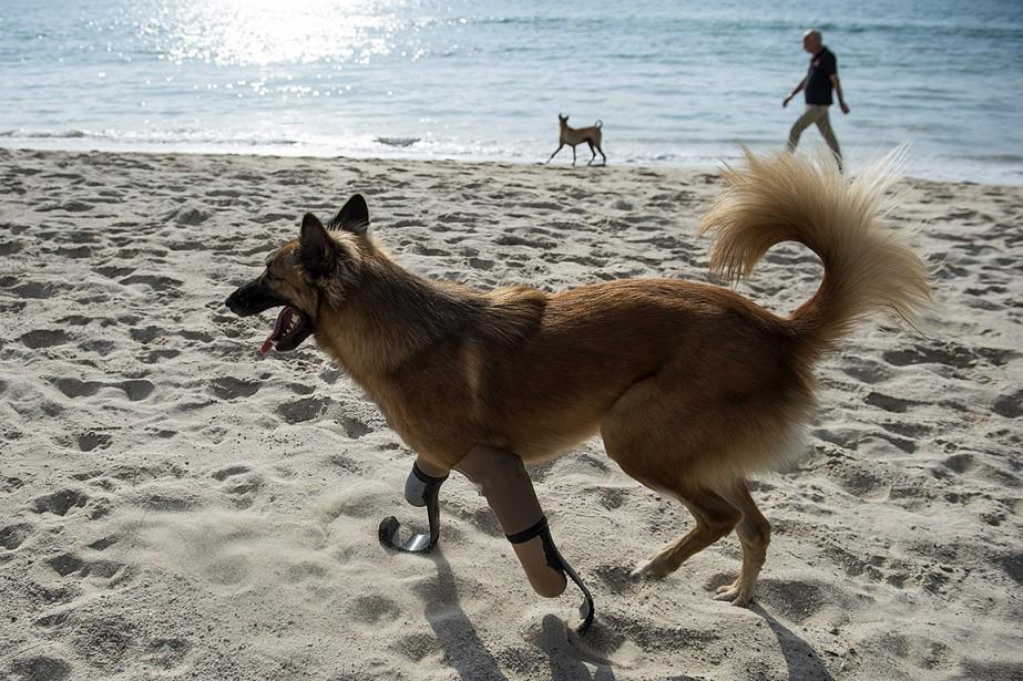 Les prothèses du chien Cola ont été créées... (LILLIAN SUWANRUMPHA, AFP)
