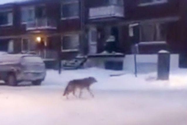 Des citoyens ont confondu un coyote aperçu dansl'arrondissement... (capture d'écran)