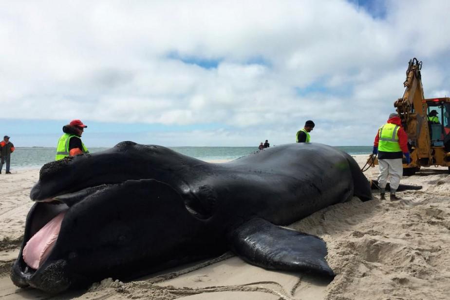 Dix-sept baleines noires ont perdu la vie en... (PHOTO FOURNIE PAR L'INTERNATIONAL FUND FOR ANIMAL WELFARE)