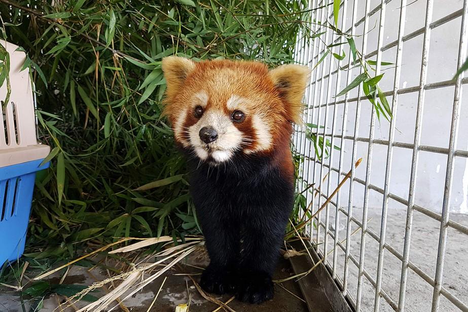 Seuls trois des six pandas roux sauvés des... (FREE THE BEARS VIA AFP)