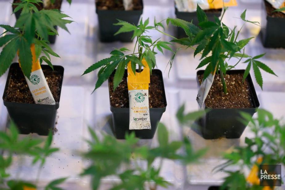 Aurora Cannabis, qui vient d'ouvrir une usine de... (Photo Martin Chamberland, Archives La Presse)