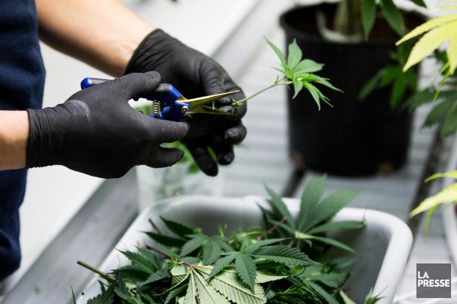 Sur cette photo, du cannabis.... (Simon Giroux, archives La Presse)