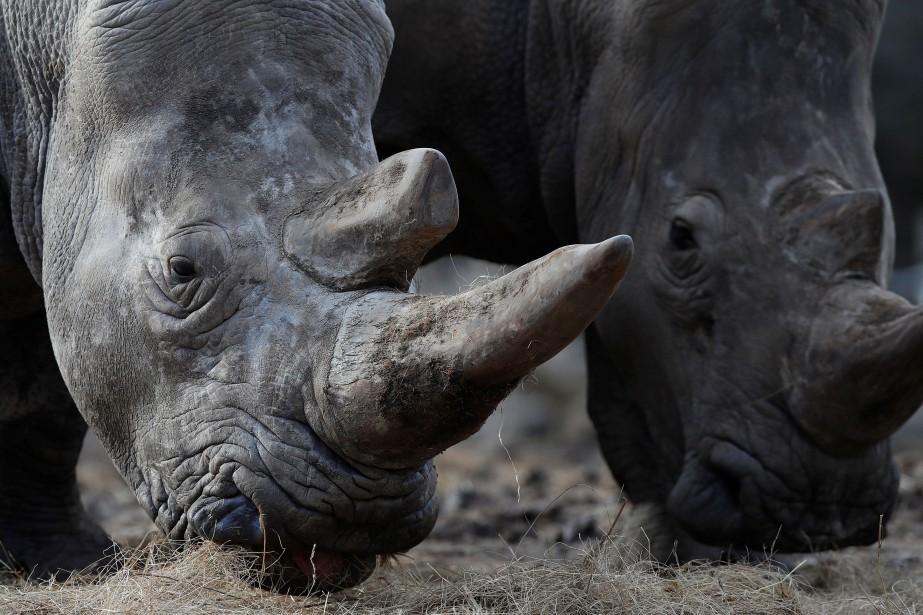 Le sperme de rhinocéros blanc du Nord mâles... (PHOTO ARCHIVES REUTERS)
