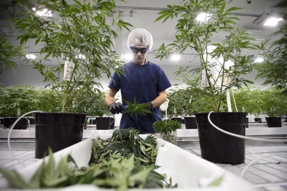 Un travailleur chez Canopy Growth.... (Photo La Presse canadienne)