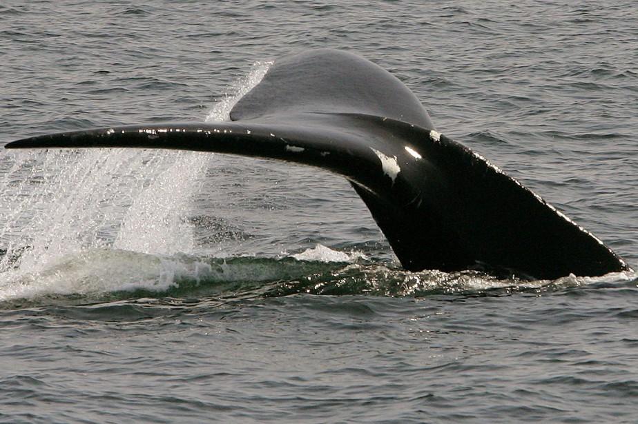 Depuis une trentaine d'années, les baleines noires donnent... (PHOTO Stephan Savoia, archives Associated Press)