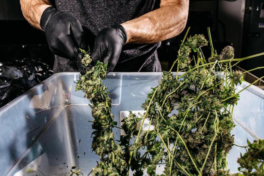 L'industrie canadienne ducannabis, qui est en pleine croissance,... (PHOTO RYAN DAVID BROWN, ARCHIVES THE NEW YORK TIMES)