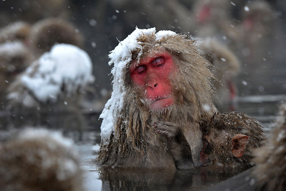 Le singe des neiges japonais, également connu dans... (Kazuhiro NOGI, AFP)