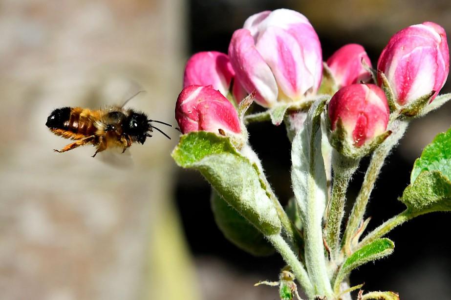 «Ces abeilles, appelées osmies, étaient déjà utilisées artisanalement... (Photo Georges Gobet, Agence France-Presse)