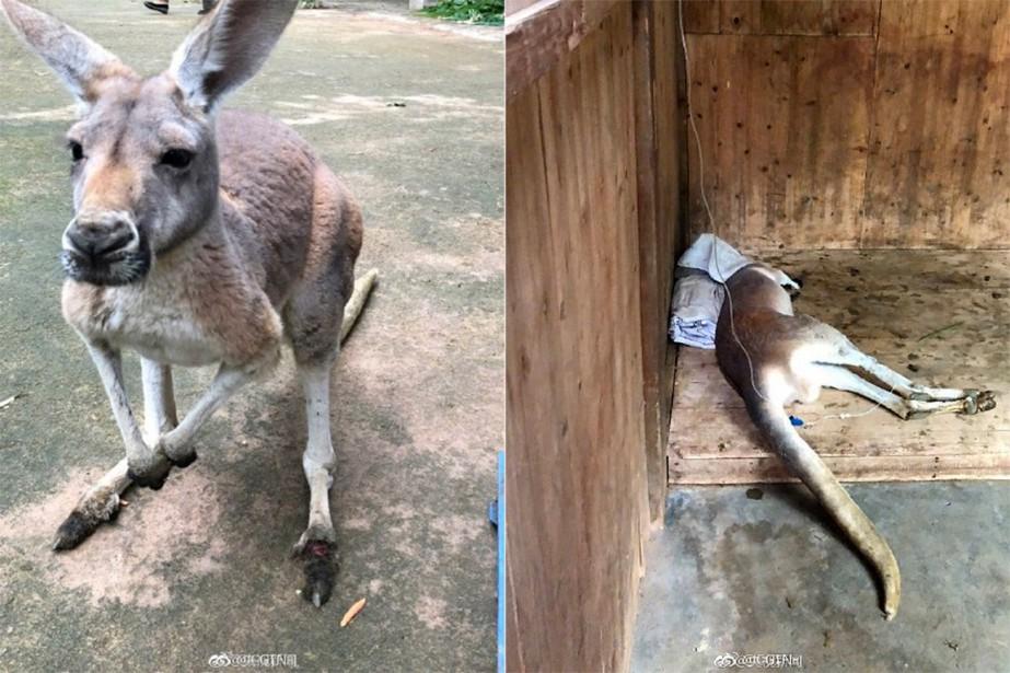 L'une des pattes de l'animal a été écrasée... (Source Weibo)