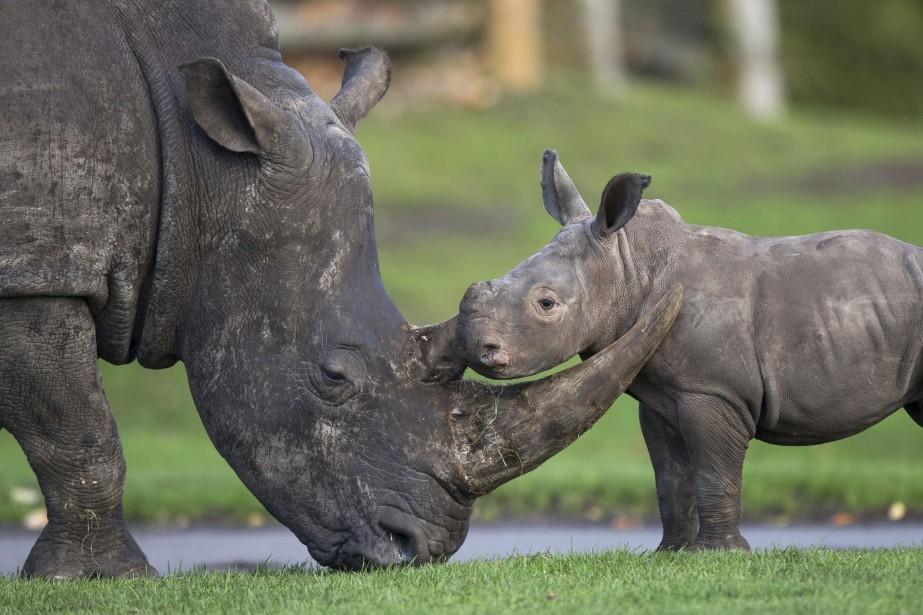 Le Kenya abrite quelque 1000 rhinocéros, soit la... (Photo Aaron Chown, archives Associated Press)
