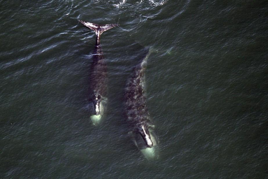 Près de 30 baleines noires de l'Atlantique Nord repérées jusqu'ici | Espèces menacées