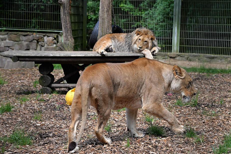 Sur cette photo, deux lions dans un zoo,... (Harald Tittel, archives AFP)