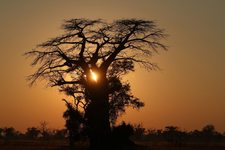 Un baobab au Botswana.... (REUTERS)