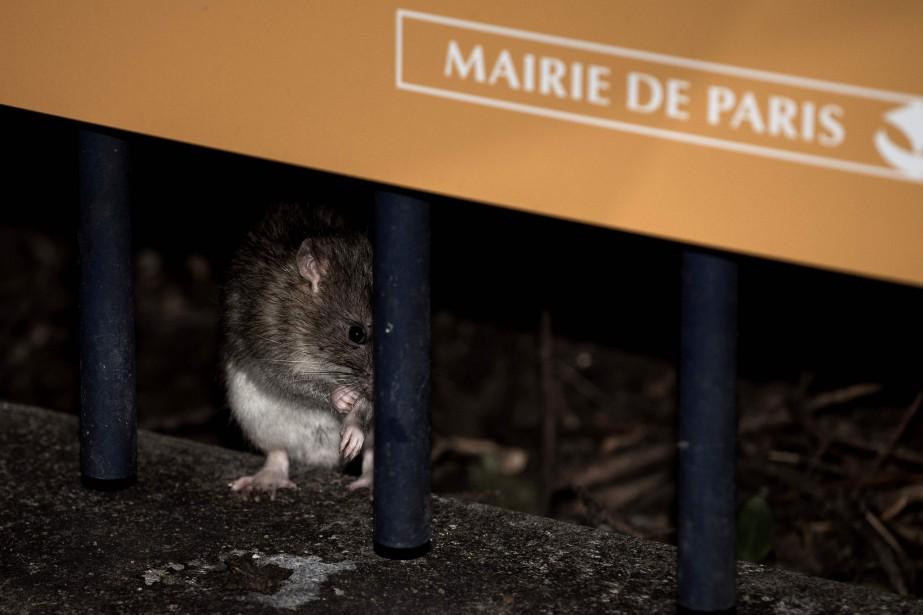 Un rat près de la rue de Rivoli,... (AFP)