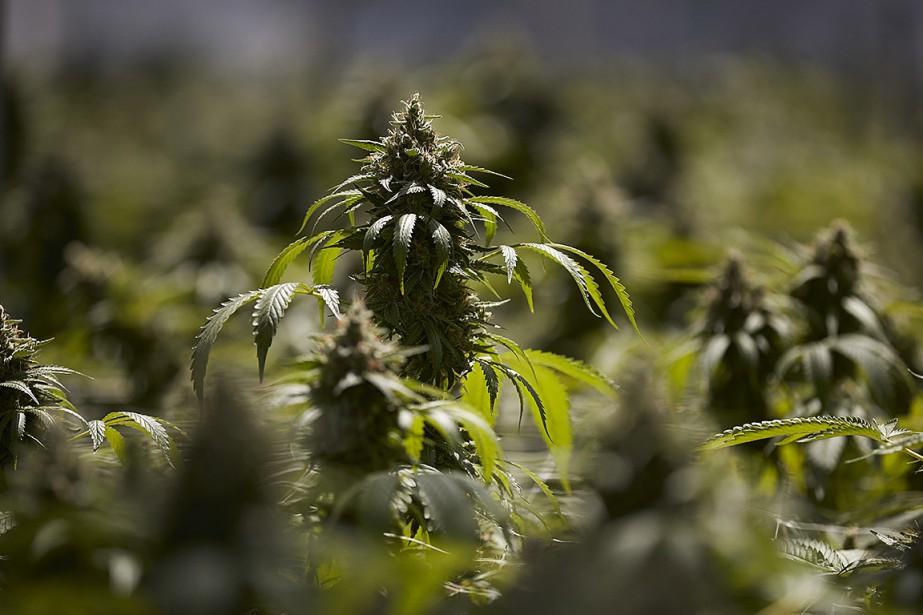 Le projet de loi157 prévoit l'encadrement du cannabis.... (Photo Jae C. Hong, archives Associated Press)