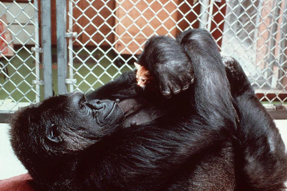 Sur cette photo de 1985, Koko cajole un... (Ronald Cohn, National Geographic Society via archives AP)