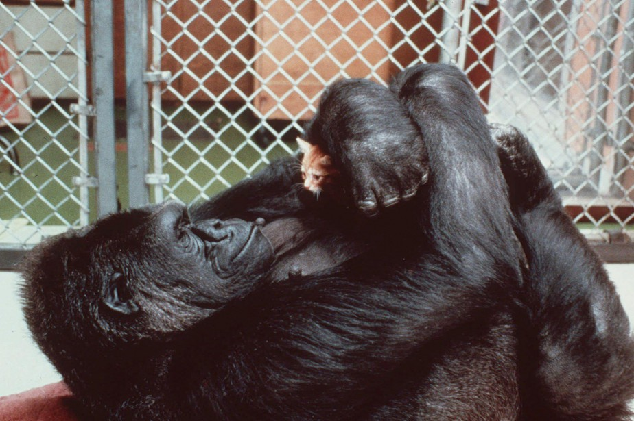 **FILE** Koko, the 230-pound gorilla who converses in... (Photo Associated Press, Ronald Cohn/National Geographic)