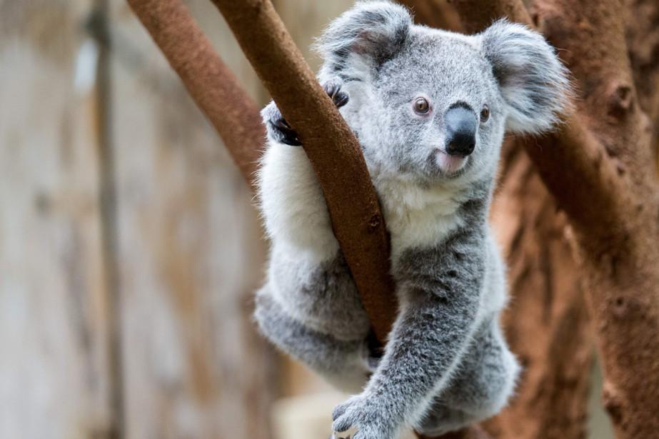 Le koala vient de livrer le secret de... (Photo archives AFP)
