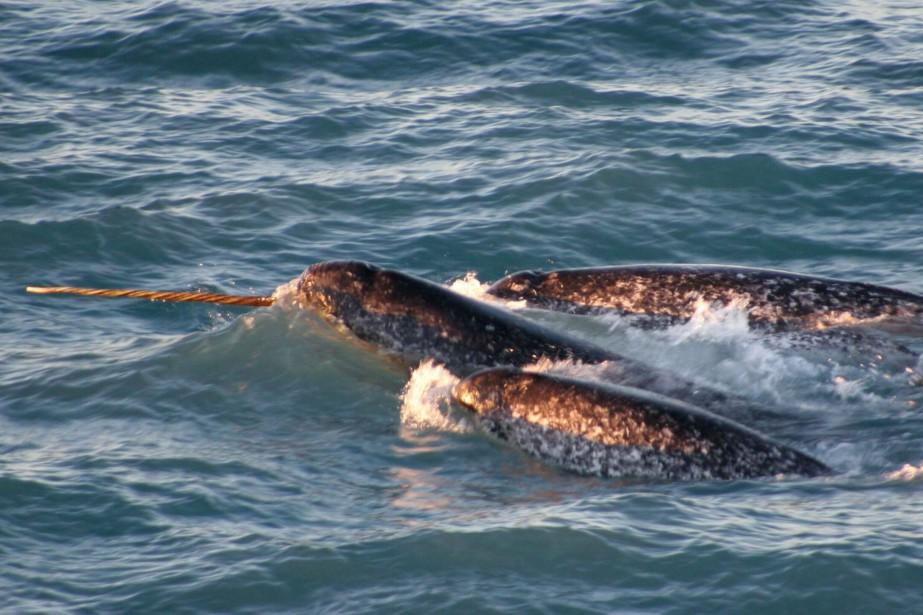 Les ours polaires et les phoques courent peu... (photo National Oceanic and Atmospheric Administration, Kristin Laidre, via PC et AP)