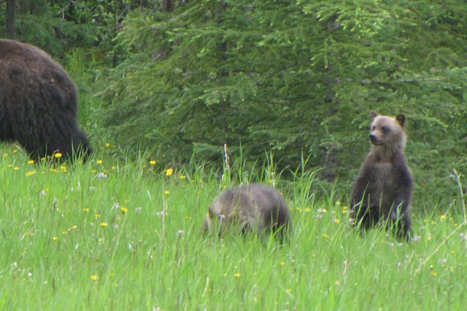 Les oursons demeureront la propriété de l'État du... (PHOTO FOURNIE PAR WIKIPÉDIA)