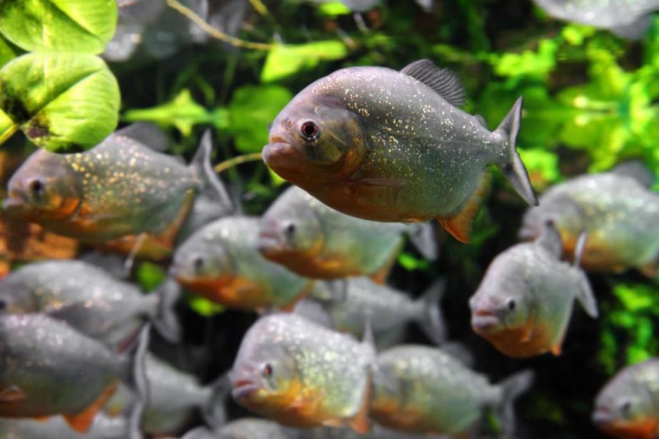 Plusieurs poissons du Biodôme de Montréal ont déménagé... (Photo Shutterstock (Kokhanchikov), fournie par l'Aquarium du Québec)