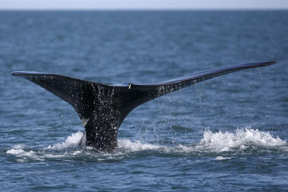 Les autorités recherchent une baleine noire de l`Atlantique empêtrée dans