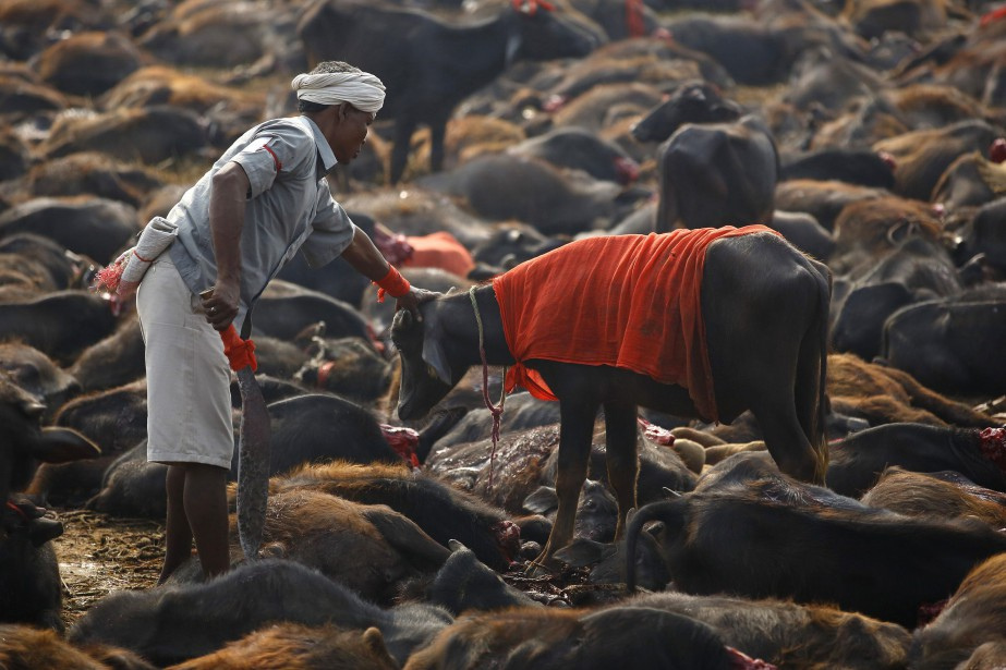 Une cérémonie d'abattage rituel au Népal.... (ARCHIVES REUTERS)