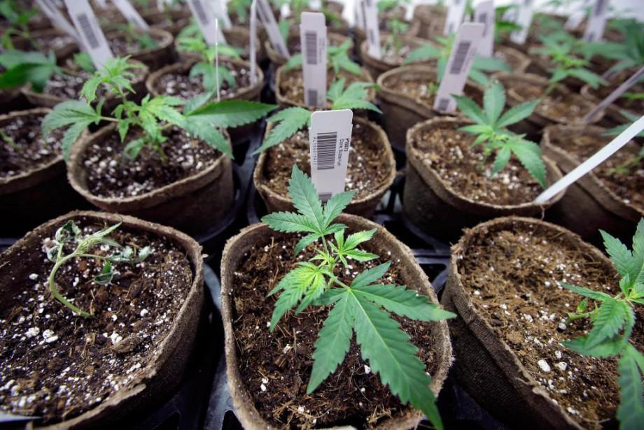 La culture du cannabis requiert un environnement très... (Photo Steven Senne, Associated Press)