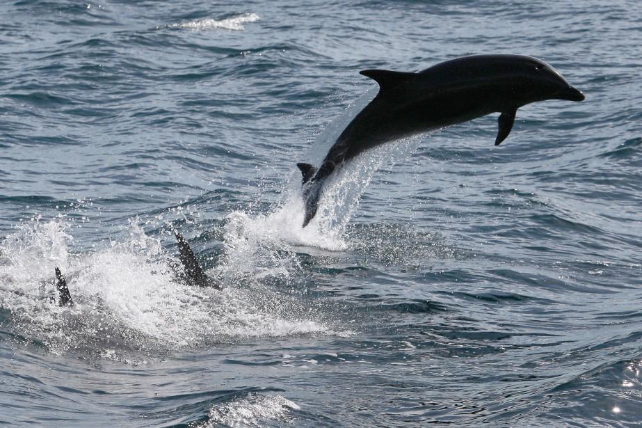 Le dauphin se trouvait dans un état critique... (archives AFP)
