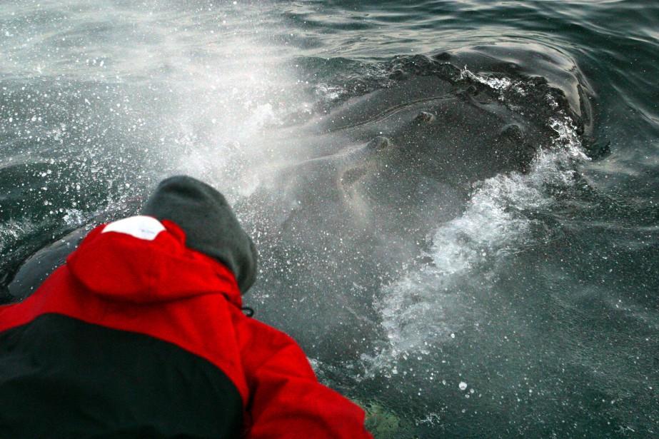 Une baleine à bosse, rescapée d'un filet de... (photo Campobello Whale Rescue, archives La presse canadienne)