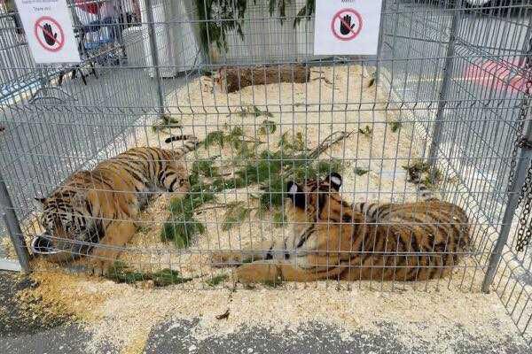 Selon un article d'un journal local, les tigres... (PHOTO TIRÉE DE LA PAGE FACEBOOK SPOTTED FESTIVENT)