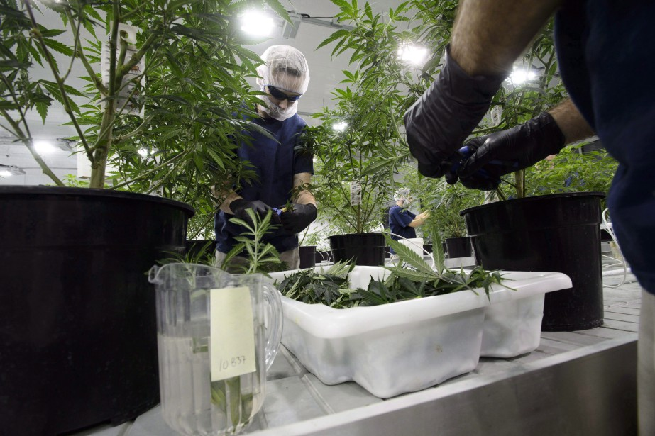 Les perspectives économiques de l'industrie du cannabis, notamment... (PHOTO ARCHIVES LA PRESSE CANADIENNE)