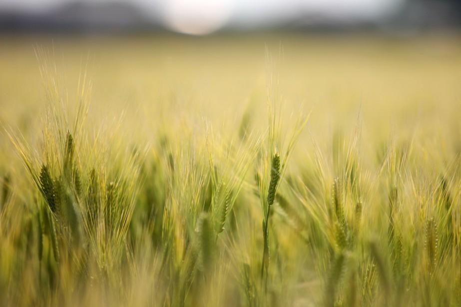 Le blé nourrit plus d'un tiers de la... (PHOTO ARCHIVES Bloomberg)
