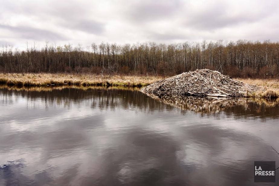 L'effondrement d'un barrage de castors cause une inondation dans les Laurentides   Faits divers