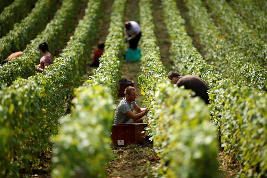 Selon l'organisme Comité Champagne, la vendange en Champagne,... (PHOTO BENOIT TESSIER, ARCHIVES REUTERS)