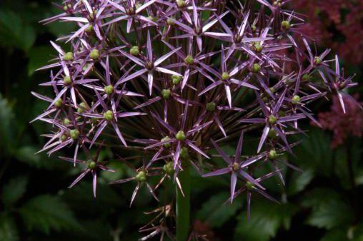 Très résistants, les Allium décoratifs présentent une grande... (photo archives La Presse)
