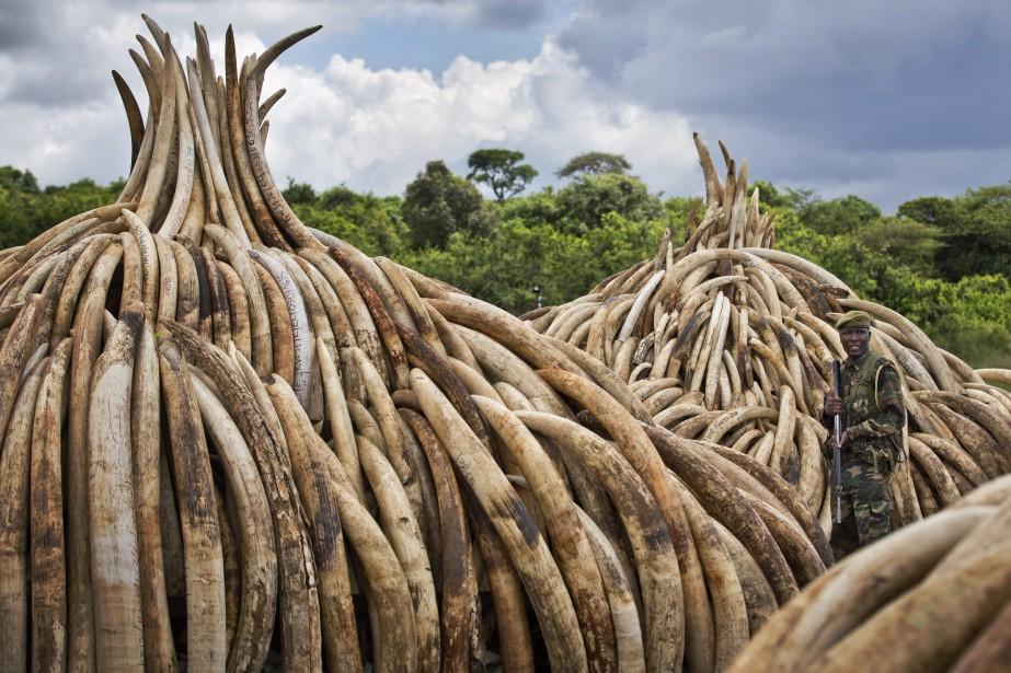 Les trafiquants dissimulent l'ivoire dans des containers envoyés... (Photo Ben Curtis, archives Associated Press)
