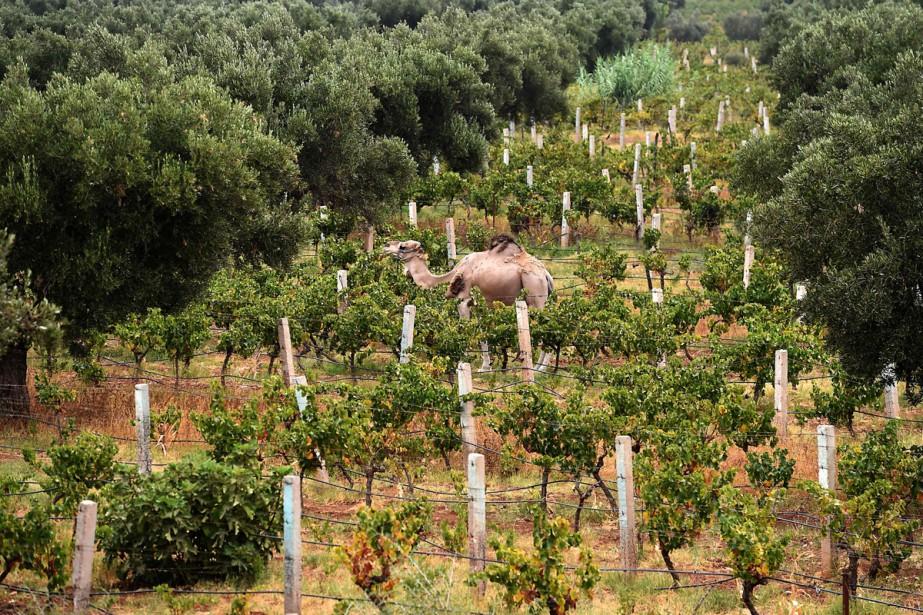 Le domaine du Val d'Argan, ce «vignoble de... (Photo AFP)